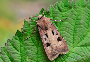 Agrotis exclamationis 2