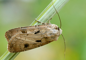 Agrotis exclamationis 1