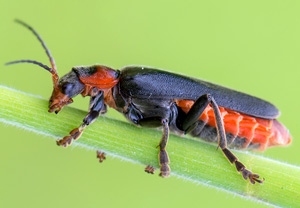 Cantharis fusca 3