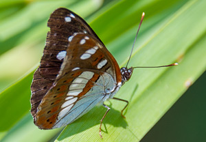 Limenitis reducta 1